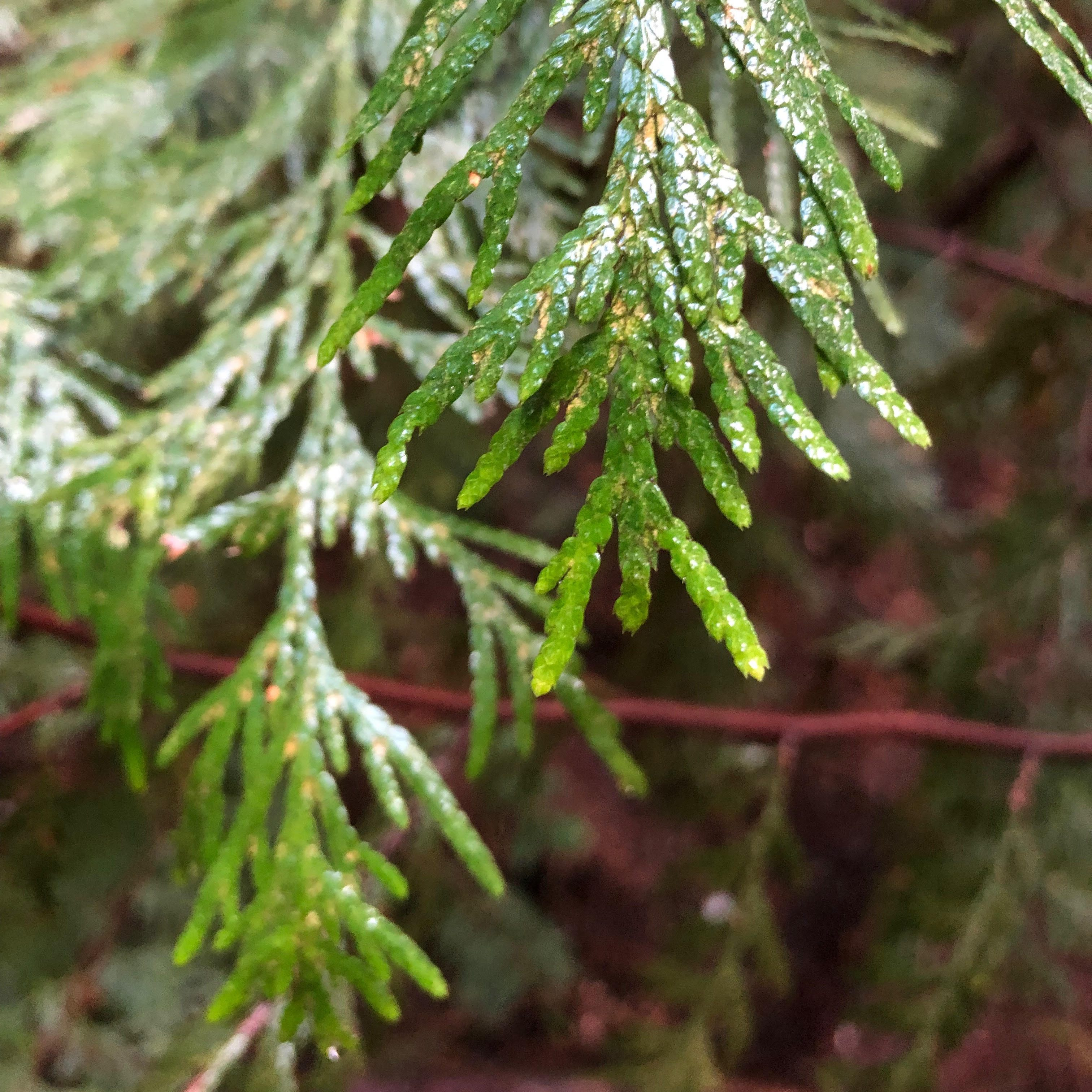 cedar-leaves