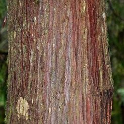 young-cedar-tree-bark